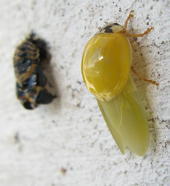 http://natural-gardener.com/ - This Asian Lady Beetle had shed its pupil skin some tens of minutes before. Its exuviae are in the background.