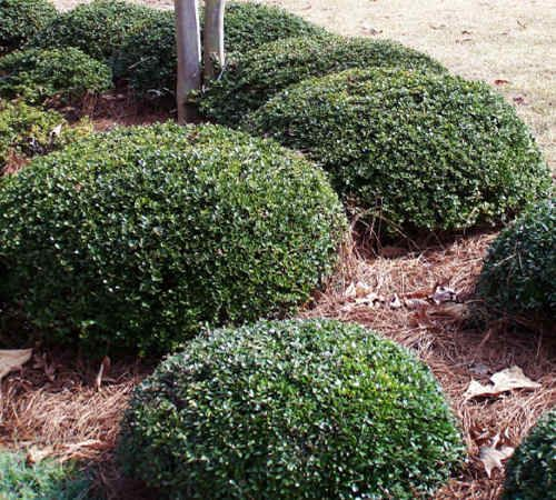 Dwarf yaupon holly my front yard pinterest sun for Green bushes for landscaping