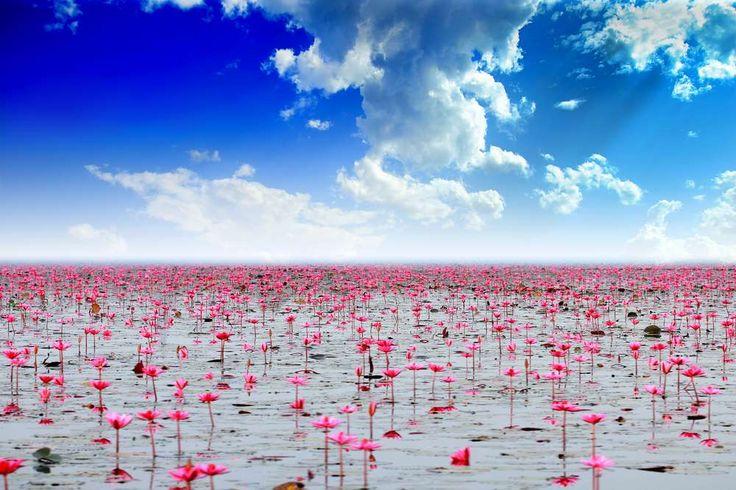 """Lago Nong Harn, Tailândia O """"Lago dos Nenúfares Vermelhos"""" é como ficou conhecido este lugar em razão das centenas de milhares de lírios d'água que tomam sua superfície todos os anos entre outubro e março."""