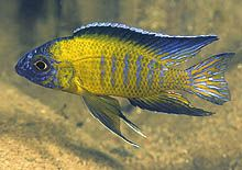 "Flavescent or Usisya ""peacock"" -Cichlid News What's new"