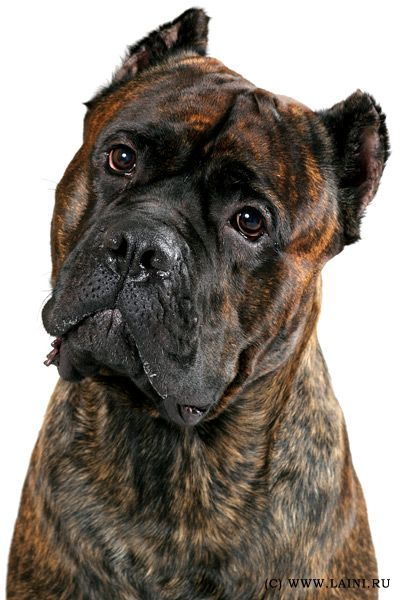 Photos breed Cane Corso Italiano, I absolutely love this brindle color.....
