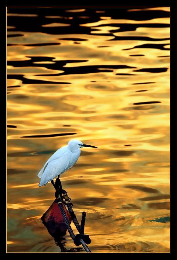 Golden BeautyGolden Beautiful, God Mornings, Golden Glow, Birds Photography, Golden Ponds, Mornings Gold, Beautiful Birds, Golden Gold, Birds Beautiful