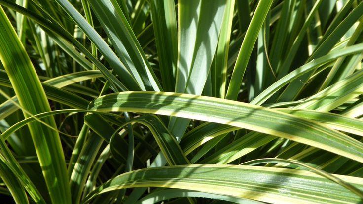 Today's New Featured Plant. Carex Rekohu Sunrise £9.49 #variegation #plants #gardening http://www.gardenbeauty.co.uk/plant-details.php?name=Rekohu%20Sunrise&p_genus=Carex&code=carsu…