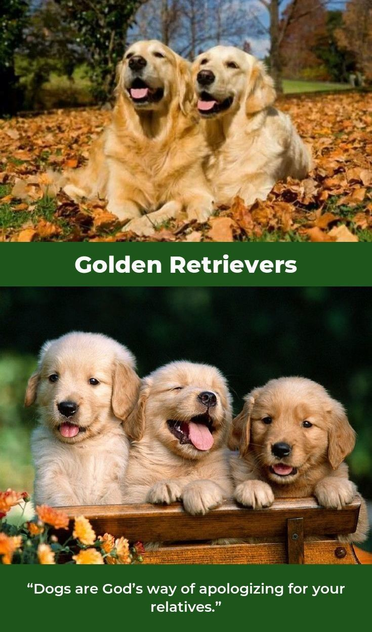 Golden Retriever Puppies Goldenretrievertshirts