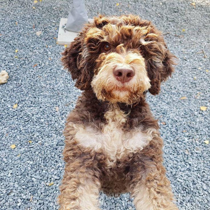 Lagottos Vom Fichtelhof Hunde Welpen Spass