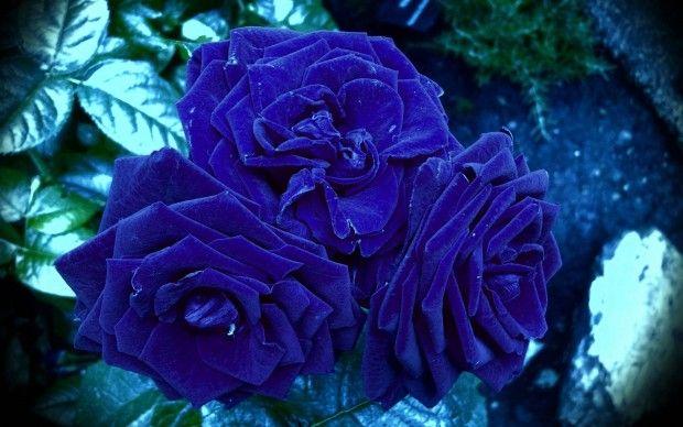 Blue Rose Wallpaper Hd Flower Seeds Rose Flower Wallpaper Blue Roses Wallpaper