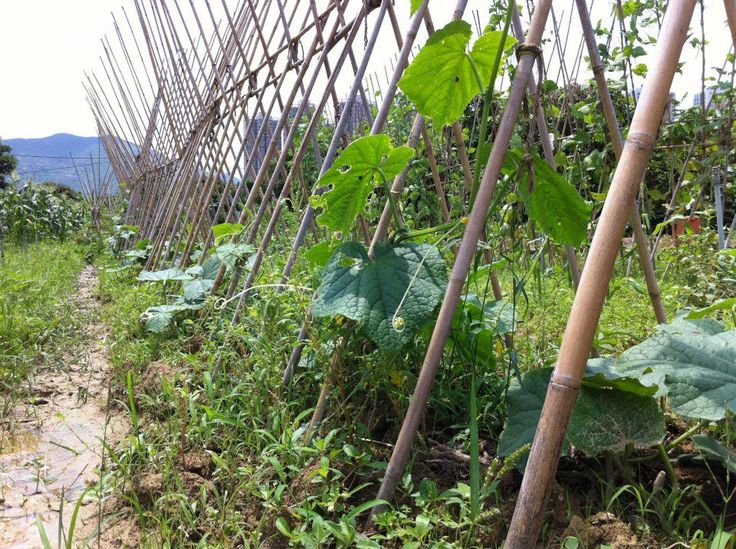 Growing beans and melons