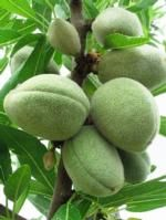 Growing almonds (Almonds in the hull) – zet