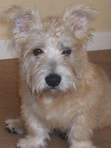 irish glen of imaal terriers  ralph and molly