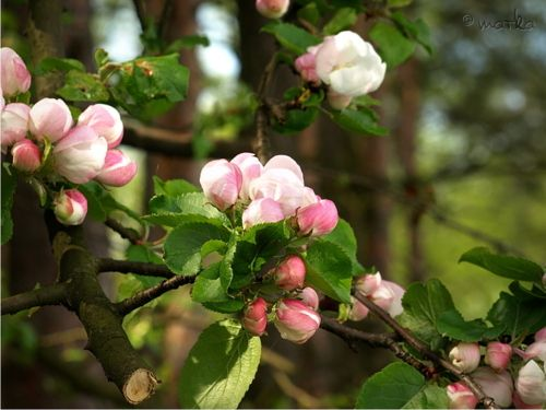 Apple Tree Blossoms.