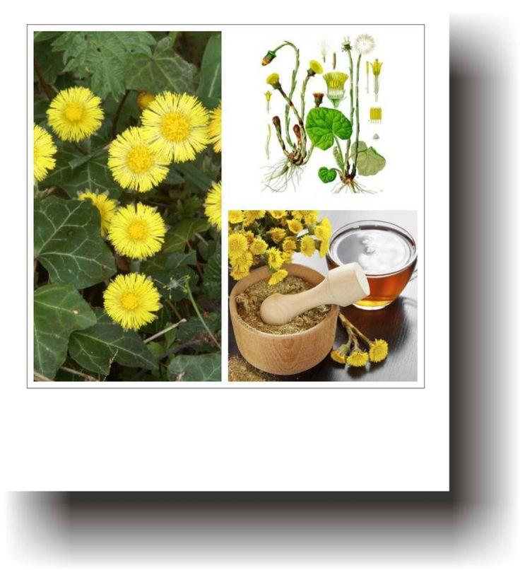 Plante medicinale – PODBAL