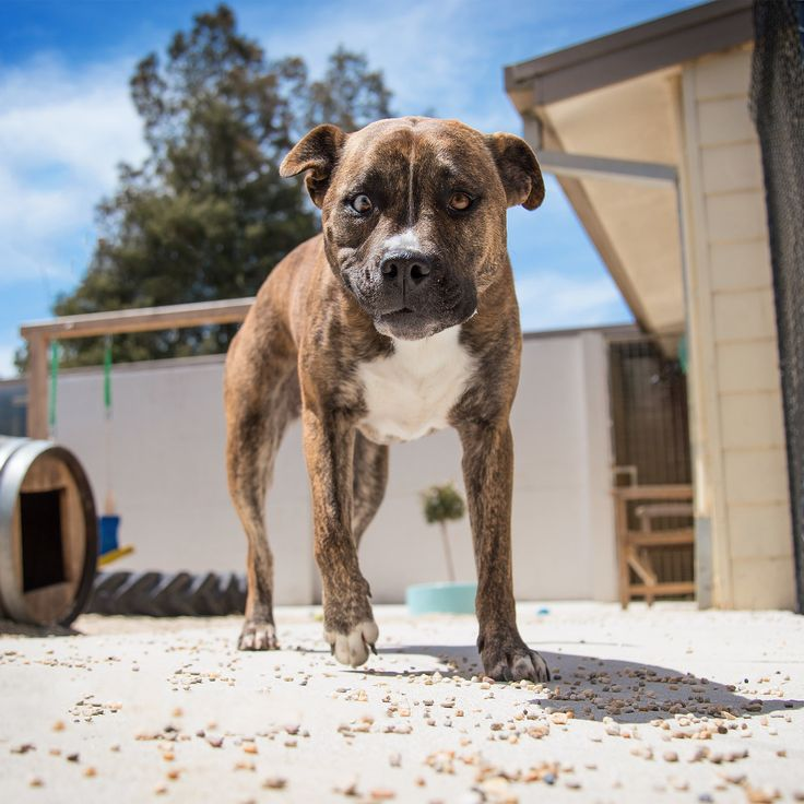 American Staffordshire Terrier - Yarra Valley Dog Photographer - Melbourne, Australia - Shelter Photography