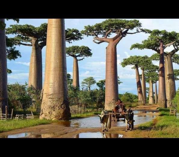 Baobás em MadagascaReprodução - DR