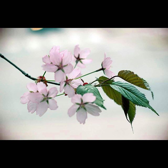 #cherrytree #cherryblossom #canonphotography #canon #naturephotography #nature #tattisphotos