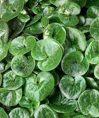 Bodendecker sind wichtige Pflanzen im pflegeleichten Garten. Aber sie unterdrücken das Unkraut nur dann dauerhaft, wenn sie auch im Winter Blätter tragen. Hier sind die zehn besten immergrünen Bodendecker.