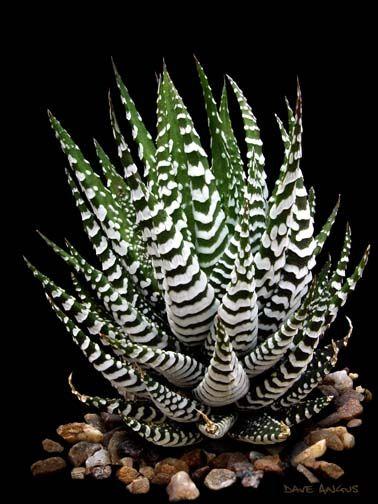 Haworthia attenuata v zebrina // Fotografia d'una Haworthia