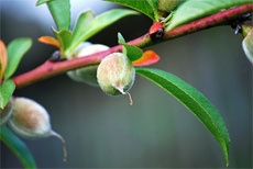 how to grow a peach tree from a kernel