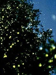 synchronous fireflies - Kampung Kuantan riverbank, Malaysia