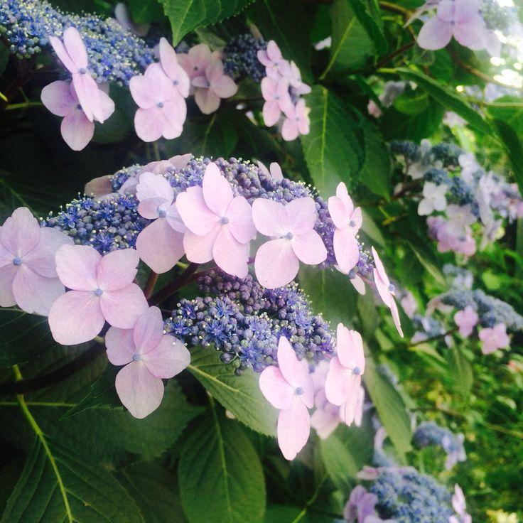 2014-06-03  ガクアジサイ  紫陽花の季節になりました。紫陽花と言えば! 鎌倉⁈ また行ってみなきゃ♪