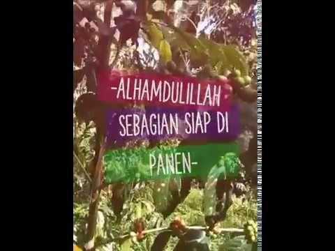 Kopi Gayo   Alhamdulillah Sebagian Siap Di Panen