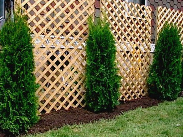 A lattice fence and arborvitae provide an attractive low-cost solution. Shown here is the Eastern arborvitae (Thuija occidentalis), which will eventually grow to about 20 to 30 feet high and 10 to 12 feet wide.