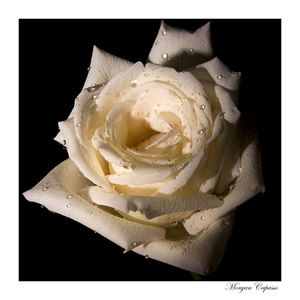 Rosa Bianca di Morgan Capasso © 2008