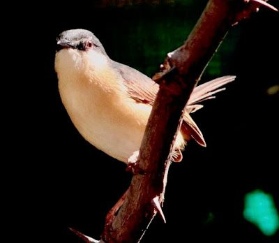 MOUNT ABU BIRDS  MY PERSONAL COLLECTION: Photo Galleries Birds of Mount Abu Birds in June 2...
