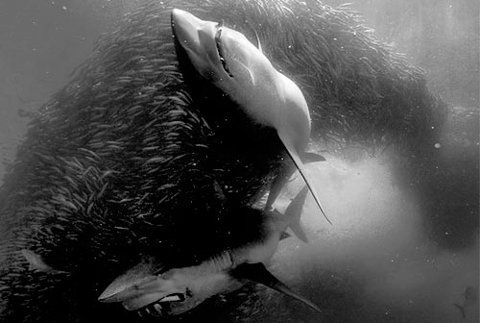 Sharks!!!Wild Animal, Artphotography Beautiful, Amazing Repin, Animal Collection, Sea Creatures, Wildlife Photography, Awesome Pictures, Sharks Wild, Scary Sharks