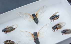 Urban Buzz is a citizen science project to how are cicadas are responding to climate change?