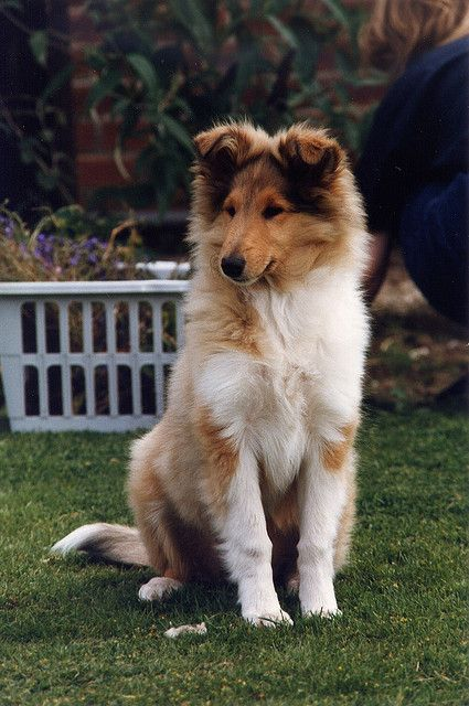 Sable Rough Collie