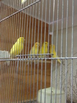 We have quite a few #canaries available, singing males $65 each, females $45 each, and unsexed young $40 each. All beautiful healthy #birds