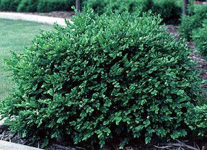 Green Velvet Boxwood Shrubs for sale, Akron Medina Sullivan Ohio