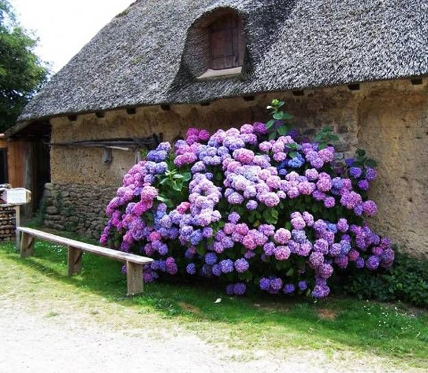 1000 images about hydrangea and viburnum on pinterest for Garden designs with hydrangeas