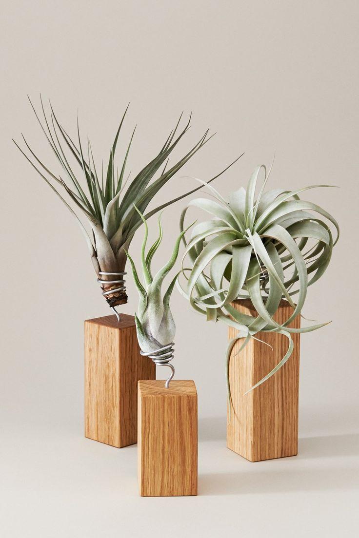 Evrgreen Tillandsia airplants + giveaway