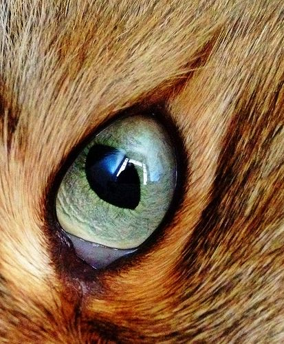 this is an actual photo of a beautiful cat's eye (for comparison study or drawing with colored pencils, etc.)