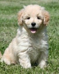 Miniature Goldendoodle! This breeder is from Iowa - hmmmm...I may need to get one the next time I'm back. :)
