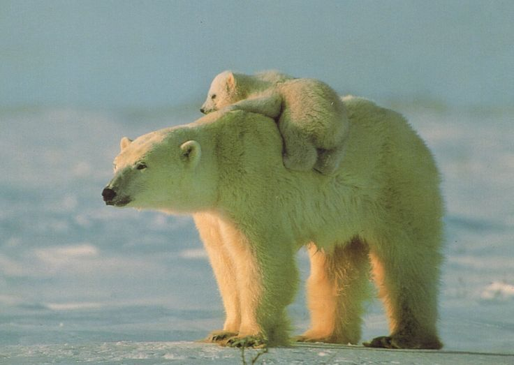 Mother polar bear and her lazy but comfortable cub.