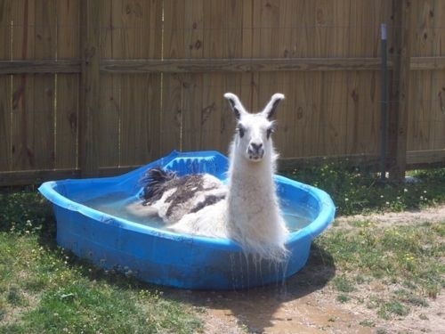Nothing worse than a hot llama: Swim Pools, Burning Flames, Funny Stuff, Alpacas, Llamas Pools, Things, Funny Animal, Kiddie Pools, Cool Off