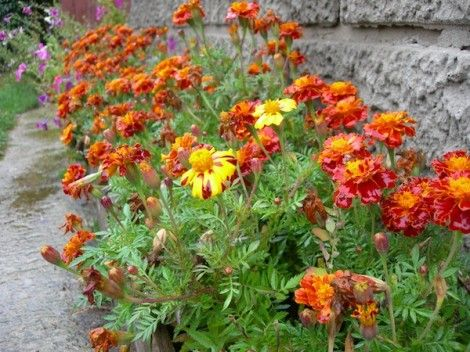 marigolds-grow