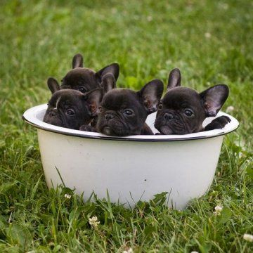 I can't handle it. Really? 4 French bulldogs?: Tubs, French Bulldogs Puppies, Frenchi, Frenchbulldog, Puppy, Baby Dogs, Animal, Bowls, Bath Time