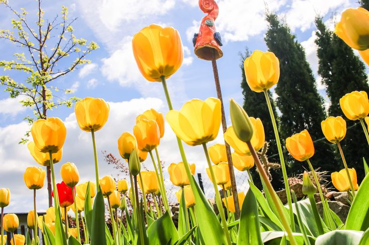 #Tulpen Overload! Da kann man sich  glatt den Weg nach Holland sparen 😂  #Frühling #tulips  #garten #frühling #schrebergarten #gartenspass #kleingarten #garden  #blüten #Flower  #yellow  #gelb