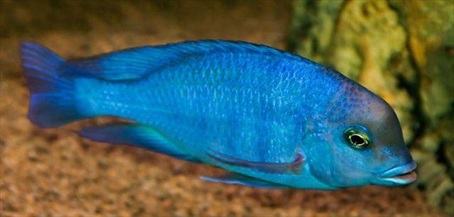 アフリカ タンザニア タンガニーカ湖の青が美しい淡水魚