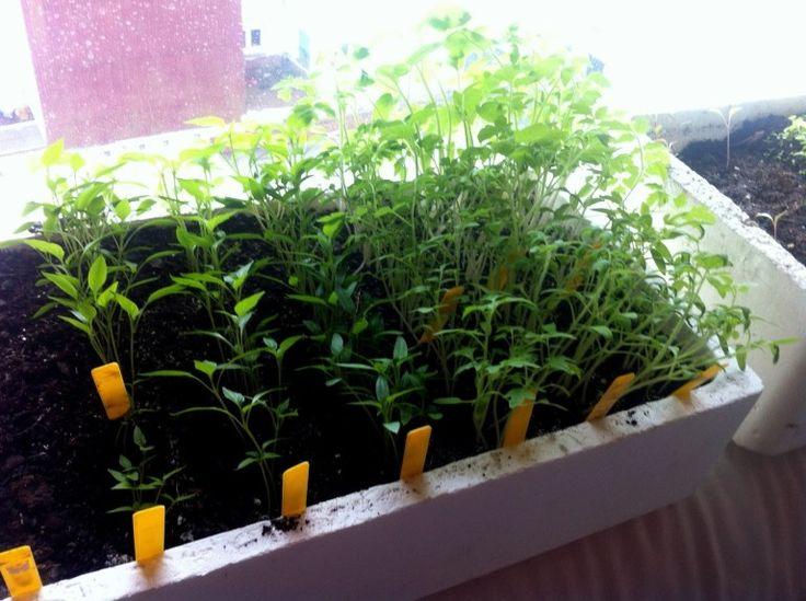 como hacer semillero de tomates pimiento y berenjenas para nuestro huerto o maceto huerto de