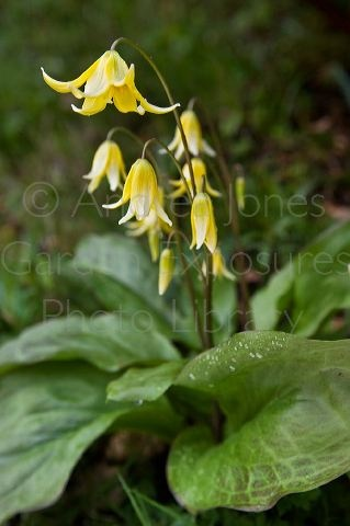 Erythronium Pagoda Dog S Tooth Violet Trout Lily