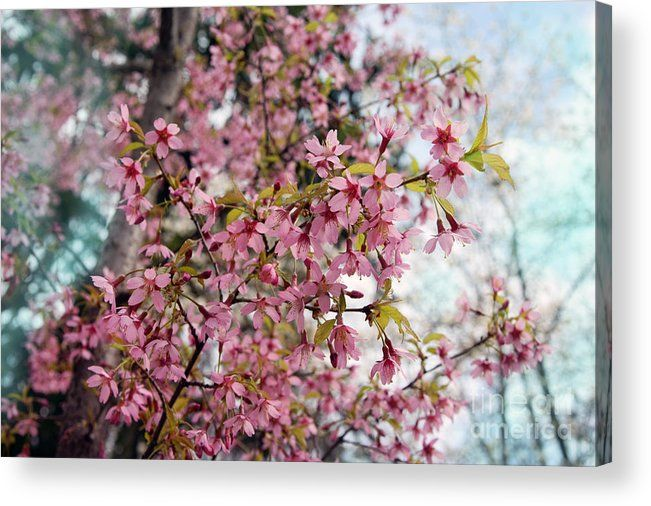 Cherry blossoms , pink