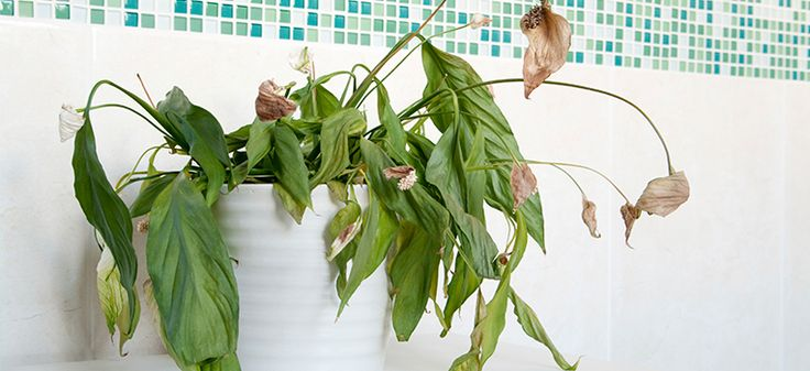 As indoor plants have increased in popularity so have the cries for help when it comes to diagnosing problems. As with all plants, the best way to ke