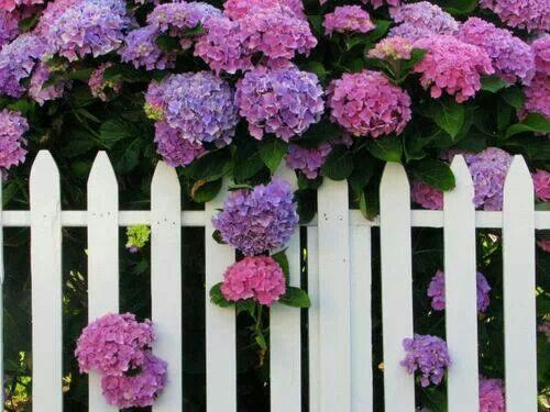 Old-fashioned hydrangeas on a picket fence :-)