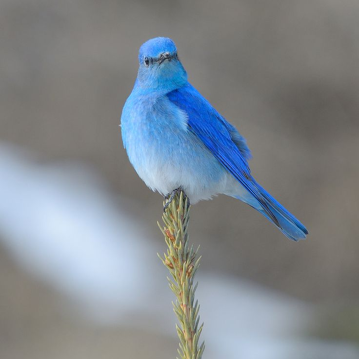 "thalassarche: "" Mountain Bluebird (Sialia currucoides) - photo by Keith Williams """