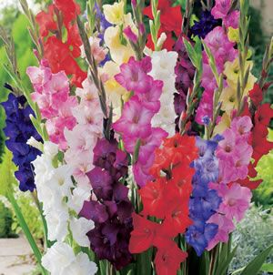 GLADIOLI MIXED - Garden Express