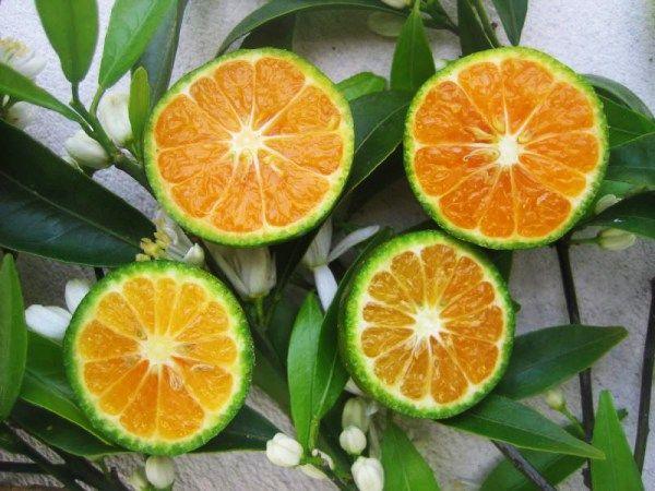 Les vertus et utilisation de l'huile essentielle de mandarine verte